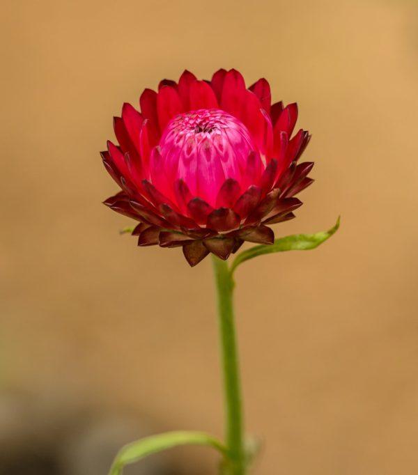 Immortelle Blüte rot zur Gewinnung von Immortelle Madagaskar bio (Helichrysum bracteifere)