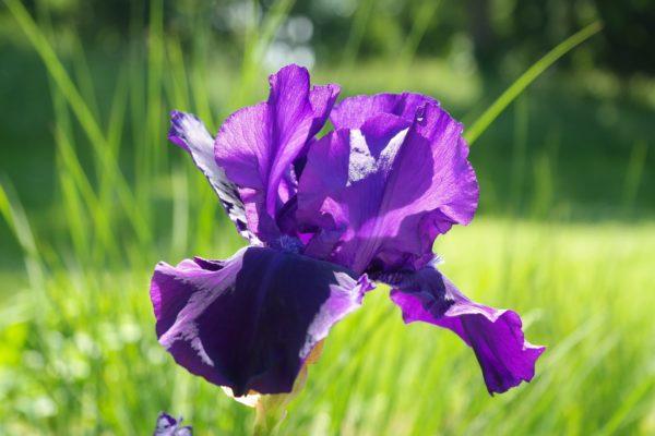 Iris Blüte Iris Pallida zur Gewinnung von Iriswurzel absolue 100% (ätherisches Öl)