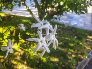 Blüte des Jasminum grandiflorum L.