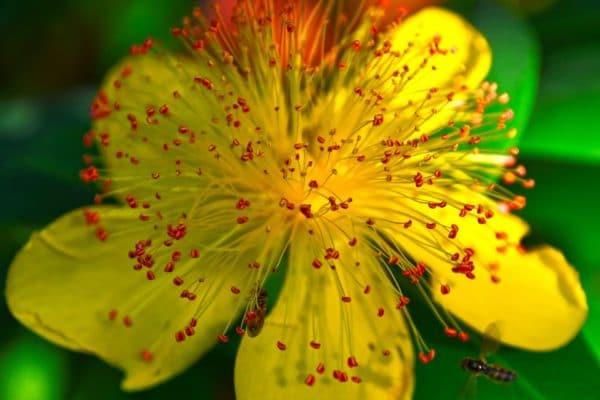 Johanniskrautblüte zur Gewinnung von Johanniskraut bio (ätherisches Öl)