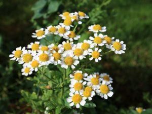 Blüten der Matricaria chamomilla L