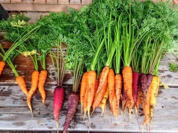 Karotten zur Gewinnung von Karottenblätter absolue 50% (Alkoholverdünnung)
