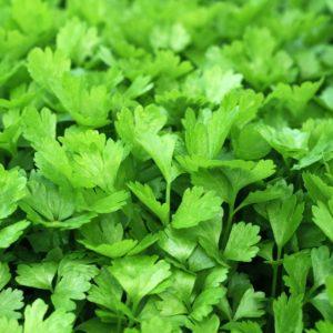 Korianderblätter zur Gewinnung von Korianderblätter 100% bio ätherisches Öl
