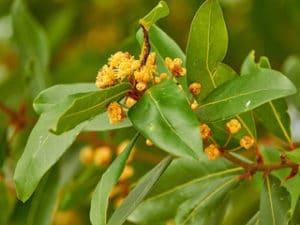 Lauraceae_Rosenholz