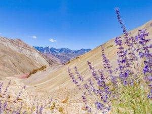 Lavendel im Hochland (1500m) bio Lavendelblüte im felsigen Hochland (1.500m)