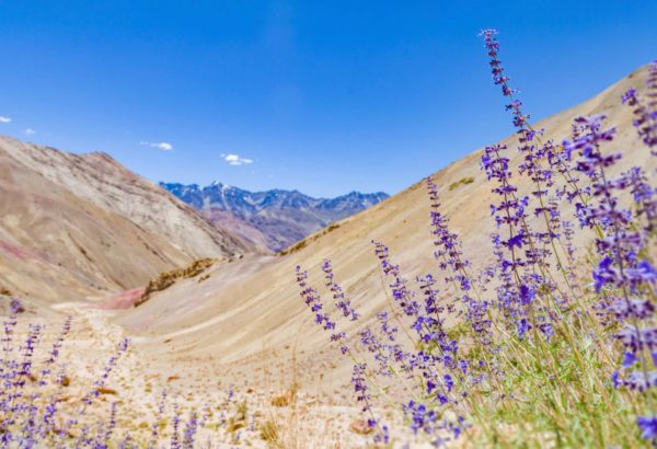 Lavendel im Hochland zur Gewinnung von Lavendelöl Hochland (1.500m) bio (ätherisches Öl)