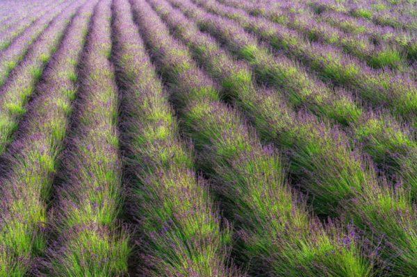 Lavendel Mailette Feld in der Provence