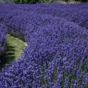 Lavendelfeld zur Gewinnung von Lavendelwasser bio (Lavendelhydrolat)