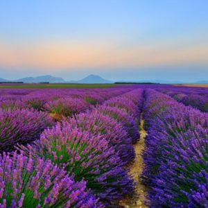 Lavendelfeld in Frankreich zur Gewinnung von Lavendel Maillette bio - Lavendula officinalis CHAIX
