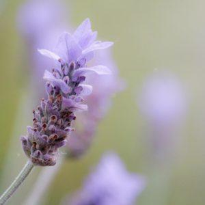 Lavendula hybrida zur Gewinnung von Lavandin abrial bio (Lavandula hybrida)