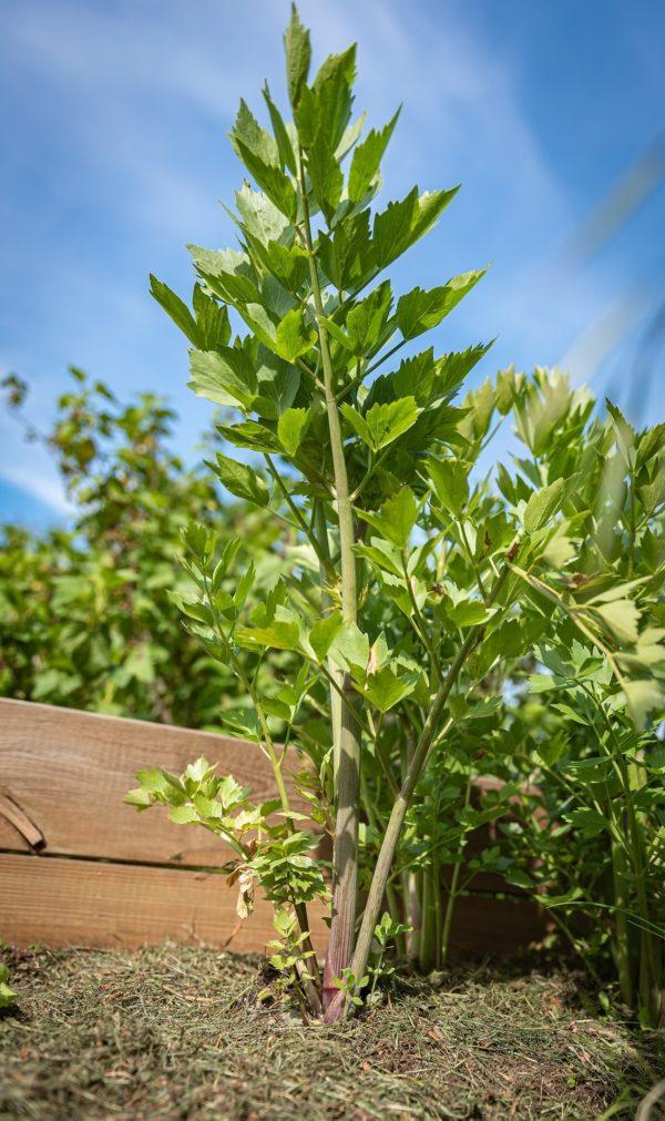 Liebstöckel - Maggikraut zur Gewinnung von Liebstöckel bio (ätherisches Öl)