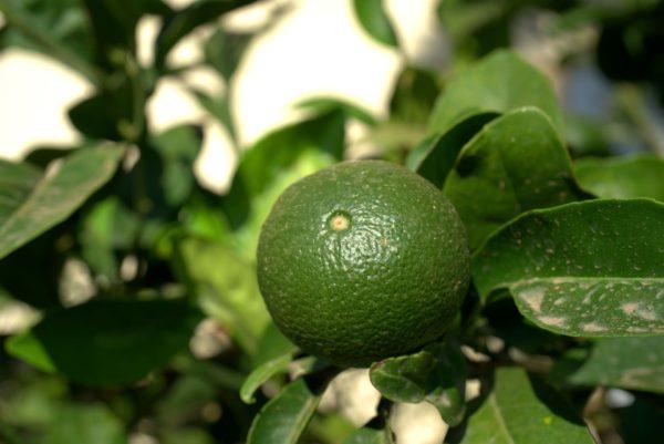 Limette mit Blättern zur Gewinnung von Petit Grain Limette (ätherisches Öl)