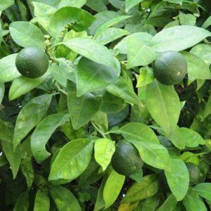Limettenbaum - zur Gewinnung von Petit Grain Bigarade sur Fleurs