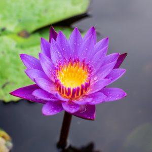 Lotus Blüte zur Gewinnung von Lotus blau absolue (nymphaea caerulea)