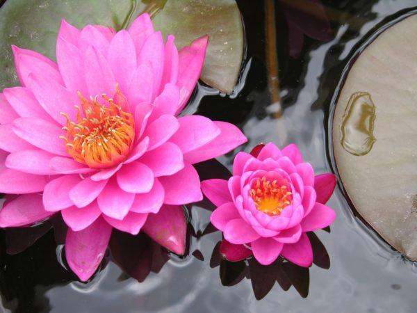 pinke Lotusblüten zur Herstellung von Lotus pink absolue 30% (Alkoholverdünnung)