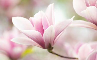 Magnolienblüte zur Gewinnung von Magnolienblüte (ätherisches Öl)