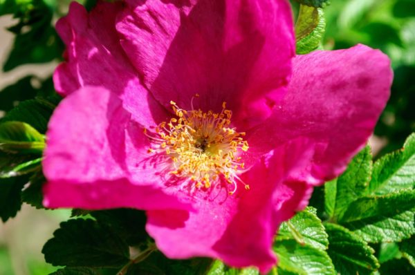 rosa majalis_Mairose zur Gewinnung von Mairosenwasser bio