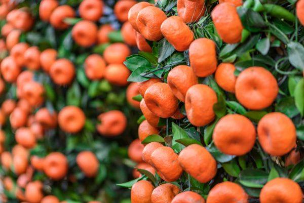 Strauch voller roter Mandarinen zur Gewinnung von Mandarine rot bio (ätherisches Öl)