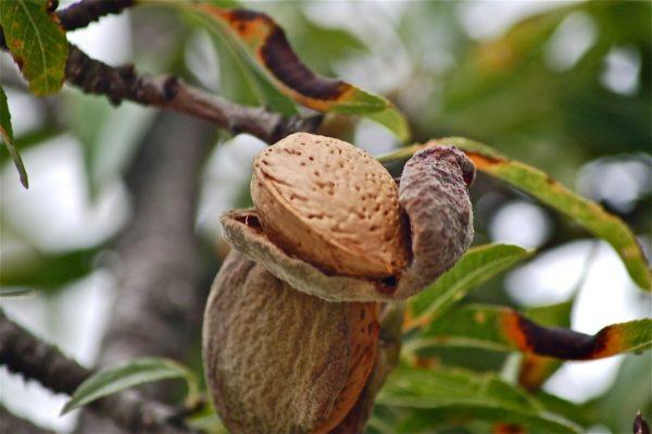 Mandelfrucht am Baum zur Gewinnung von Bittermandel-Öl blausäurefrei (Bittermandelaroma)
