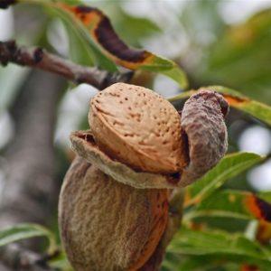 Mandelfrucht am Baum zur Gewinnung von Mandelöl süß nativ bio