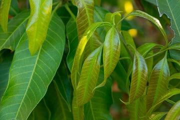 Mangoblätter zur Herstellung von Mangoblätter absolue 50% (Alkoholverdünnung)
