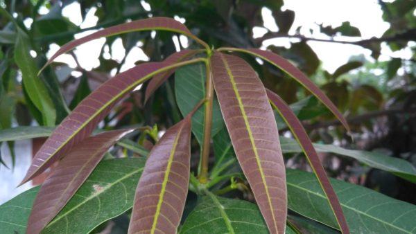Mangoblätter zur Gewinnung von Mangoblätter absolue 100% (ätherisches Öl)