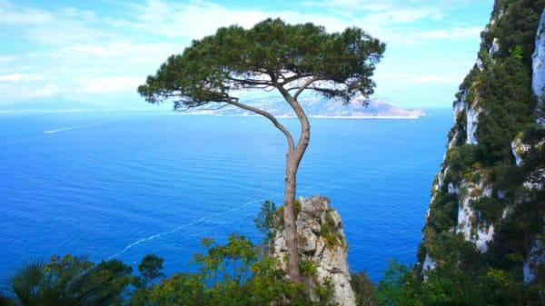 Meerkiefer zur Gewinnung von Meerkiefernnadel bio (Pinus pinaster)