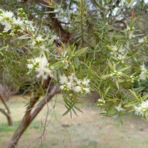 Melaleuca Ericifolia zur Gewinnung von Niaouli ericifolia (ätherisches Öl)