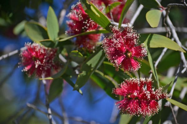 Melaleuca viridiflora zur Gewinnung von Niaouli bio - ätherisches Öl