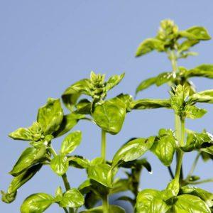 Basilikum zur Gewinnung von Basilikum citral (Ocimum basilicum citriodoro)