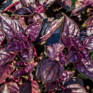 Basilikum Zimt - rote Pflanze - Ocimum Basilikum