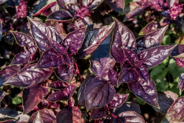 Basilikum Zimt - rote Pflanze - Ocimum Basilikum zur Gewinnung von Basilikum Zimt (ätherisches Öl)