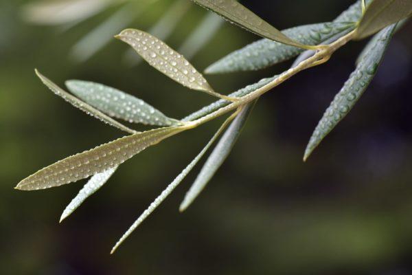 Olivenblätter am Zweig zur Gewinnung von Olivenblätter absolue 100%