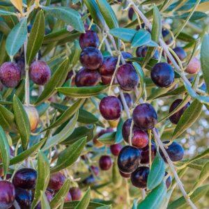 Oliven am Baum zur Gewinnung von Olivenfrucht absolue 100%