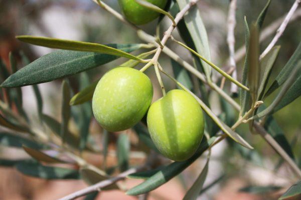 Olive am Zweig zur Gewinnung von Olivenfrucht Absolue 20% (Alkoholverdünnung)