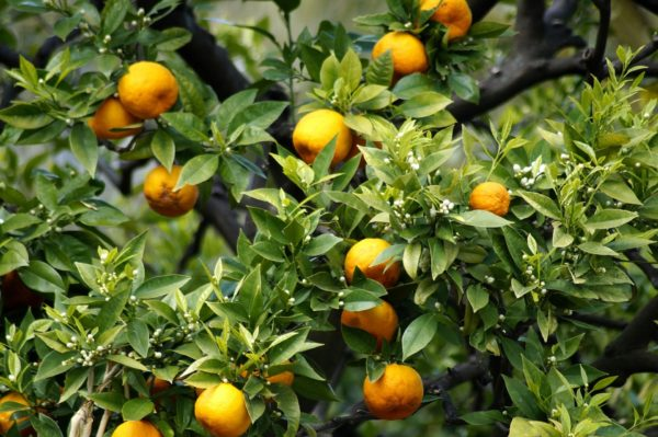 Orangen und Orangenblüten zur Gewinnung von Orangenblütenwasser bio (Orangenblütenhydrolat)