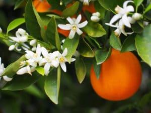 Orangenblüte - Citrus auranticum