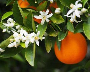 Orangenblüte - Citrus auranticum zur Gewinnung von Orangenblüte absolue 50% (Alkoholverdünnung)