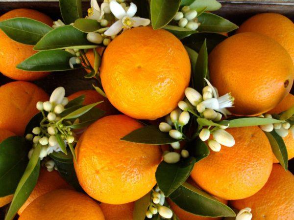 Orangenblüten zur Gewinnung von Orangenblüte absolue 100% (ätherisches Öl)