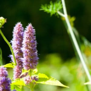 Patchouli-Pflanze zur Gewinnung von Patchouli bio (Pogostemom cablin) ätherisches Öl
