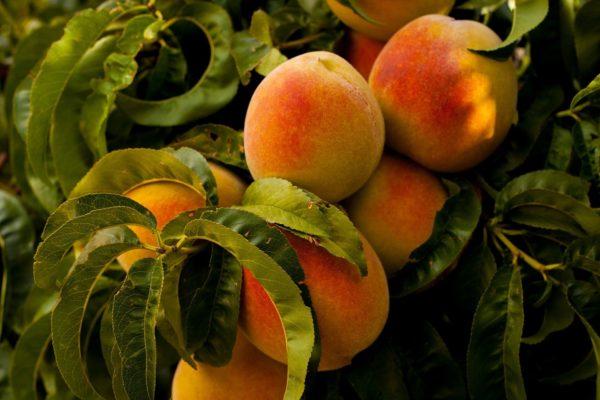Pfirsich Blätter mit Frucht zur Gewinnung von Pfirsichblätter absolue 20% (Alkoholverdünnung)