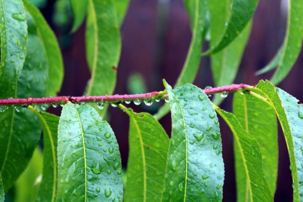 Pfirsichblätter ohne Früchte zur Gewinnung von Pfirsichblätter absolue