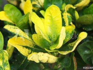 Pimenta racemosa _ Bayrumtree
