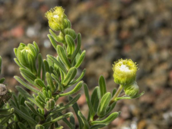 Psiadia altissima zur Herstellung von Dingadingana - Lary (ätherisches Öl)