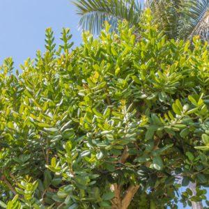 Ravensara Baum zur Gewinnung von Ravensara aromatica (Havozoöl)