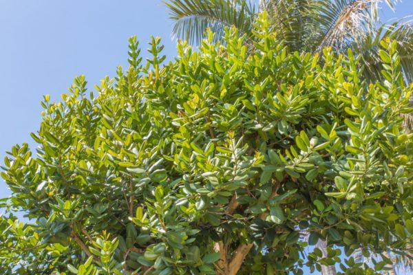 Ravensara Baum zur Gewinnung von Ravensara aromatica (ätherisches Öl)