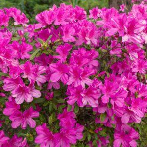 Rhododendron anthopogon zur Gewinnung von Rhododendron (ätherisches Öl)