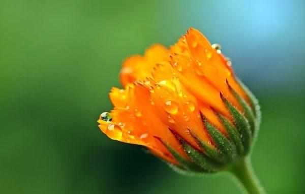 Ringelblume-Calendula-zur Herstellung von Ringelblumenöl 20% bio