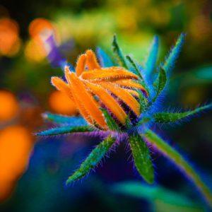 Ringelblume-Knospe zur Gewinnung von Ringelblume absolue 100% (ätherisches Öl)