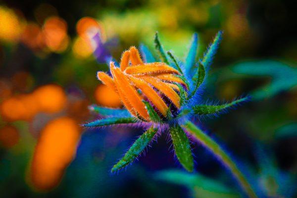 Ringelblume-Knospe zur Gewinnung von
